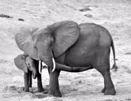 """#tbt Elephants show us that by supporting and loving one another, our own ability to thrive in the physical world is enhanced. We learn from them to pass on the gift of nurturing we received in our early years, be it from our biological family or others who helped us grow into who we are now. We must honour the elders of our community and nurture the young. Like the elephant, we need to help ease the transitions of those who are going into adulthood with gentle love, wisdom, patience and compassion. By having open hearts and minds, we can create strong relationships within the community, therefore building a strong community. 📸@dhoughphotography #dhoughphotography #gotAnItch #africa"" Courtesy derekhough IG"