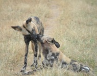 """Caught another moment of the most successful and elusive predators in Africa. Even wild dogs love. #loveiseverywhere #happyvalentinesday #dhPhotography"" - February 14, 2017 Courtesy derekhough IG"